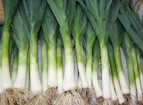 Опыт выращивания лука-порея