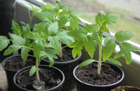 Традиционные сроки посева овощей на рассаду