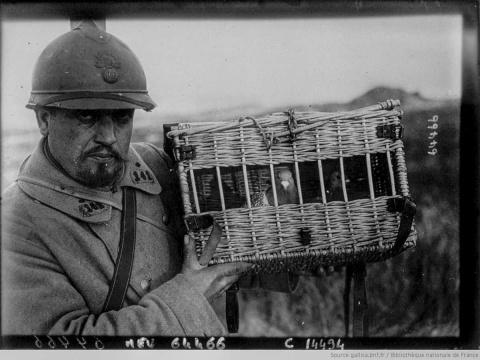 Роль военных голубей в Перво…