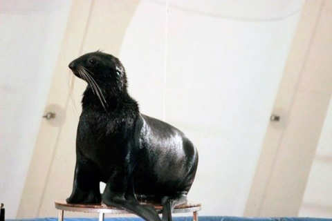 Морской котик по кличке Бари…