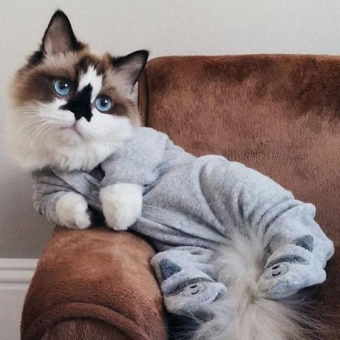 Звезда Instagram коротколапый кот Альберт