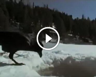 Каждый день этот ворон ловил рыбу на удочку. Невероятно умное животное!