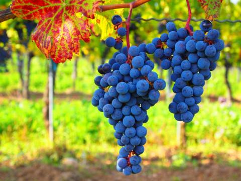 Как укрыть саженцы винограда на зиму.  Борьба с осами на винограднике