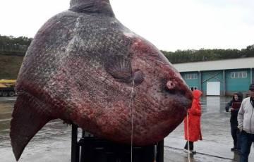 Колоссальная рыба-луна была …