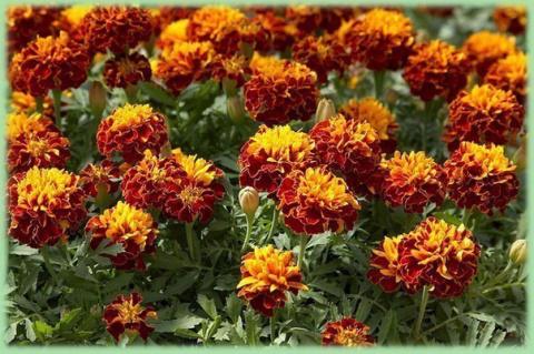 Бархатцы - лекарственные растения