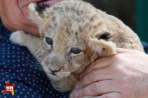 Львицу Аю привезли для льва Алтая в Барнаульский зоопарк