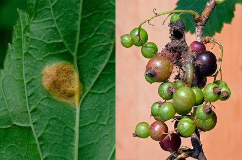 Нужно ли осенью обрабатывать смородину от вредителей?