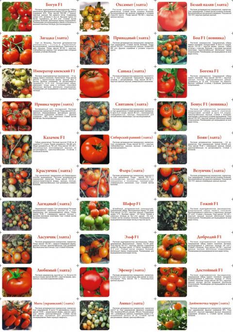 САД, ЦВЕТНИК И ОГОРОД. Рекомендуемые сорта томатов