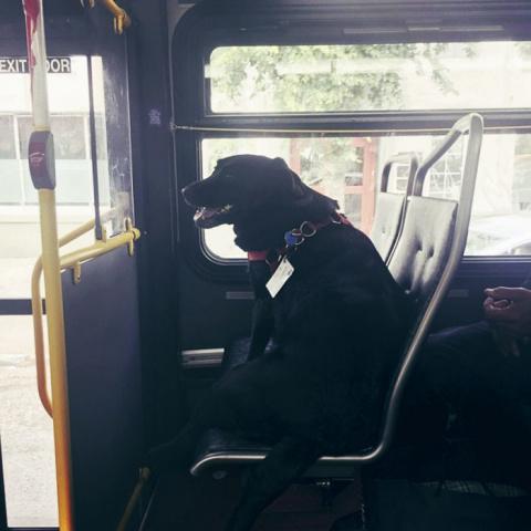 Каждый день эта собачка сама садится в автобус и едет на прогулку в свой любимый парк!