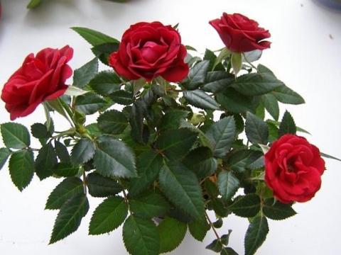 Как укоренить розу из букета
