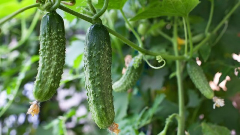 Почему огурцы горчат и что делать с горьким урожаем