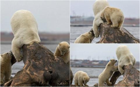 Голова белого медведя застря…