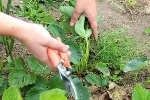 Правила обработки клубники осенью