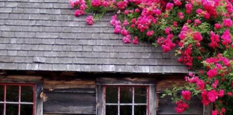 Как правильно выращивать плетистые розы