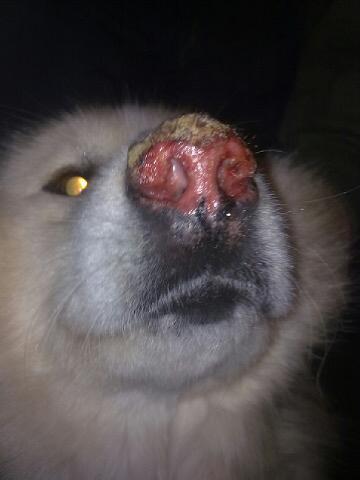 Подскажите пожалуйсто, что это такое у пёсы! может кто сталкивася!! к ветеренару хорошему нет возможности обратиться!!