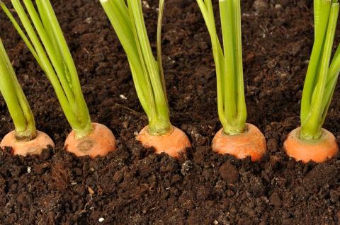 Как увеличить всхожесть семян моркови