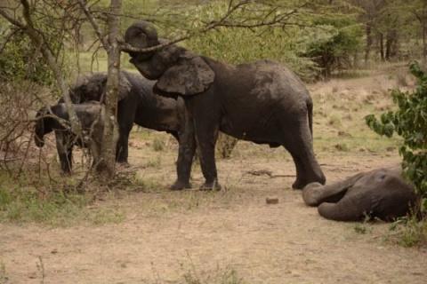 Слонята прощались с мамой, у…