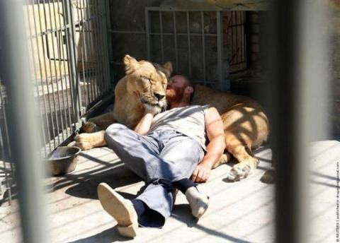 Жизнь со львами (12 фото)