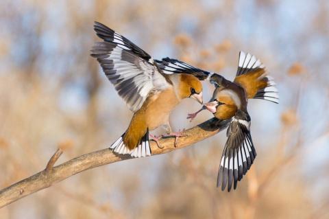 В Новосибирске впервые зимует редкая птица, похожая на гигантского воробья