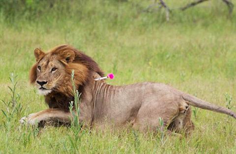 В Африке замечены львицы, начавшие отращивать себе гриву