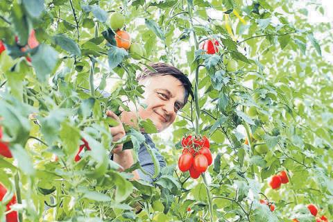Расти, томат, мясист и богат! 5 правил для получения вкусных помидоров