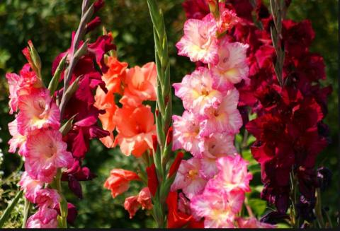 Гладиолусы после цветения. Ч…