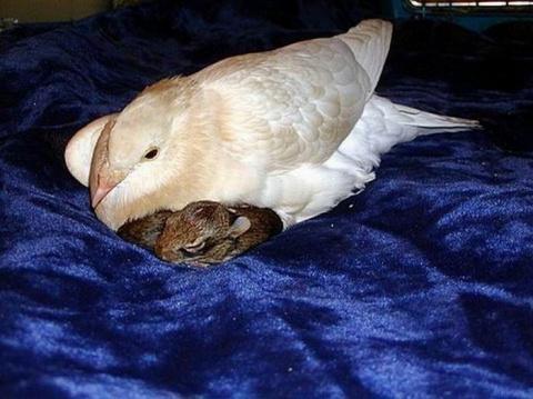 Горлица стала мамой для крольчат (4 фото)