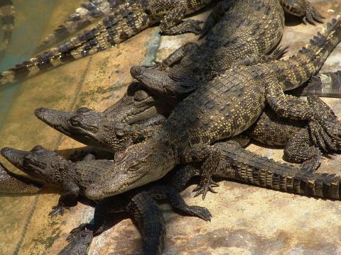 400 молодых крокодилов удалось спасти от браконьеров
