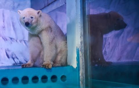 Самый грустный полярный медведь в мире наконец был освобожден из заточения