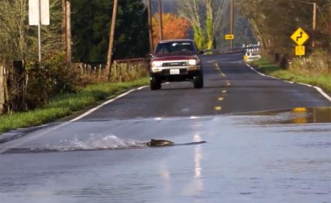 А вы видели как лососи дорогу переходят?