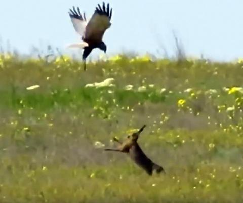 Храбрая зайчиха защищает своё потомство от сокола