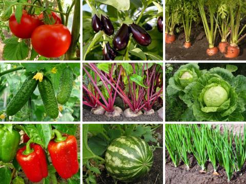 На каком расстоянии друг от друга высаживать овощи. Советы по выращиванию картофеля.