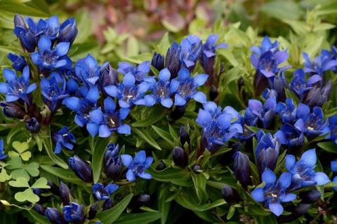 10 беспроигрышных садовых комбинаций с горечавкой
