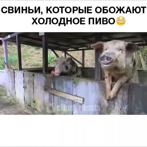 Свиньи, которые обожают холо…