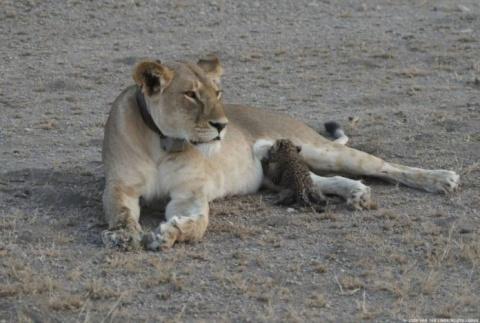 Впервые в истории дикая льви…