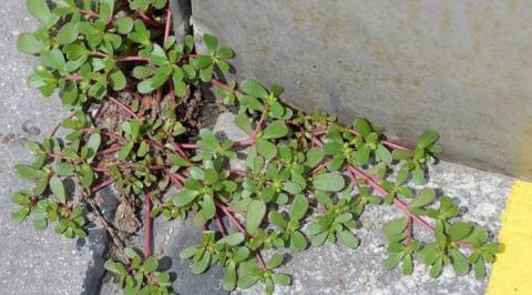 Если вы увидите это растение в вашем дворе, ни в коем случае не уничтожайте его!