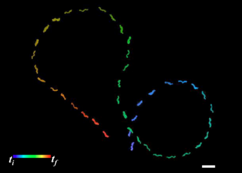 Жгутики бактерий научили магнитные наночастицы плавать по заданному маршруту