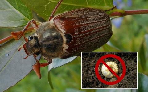 Майский жук: какими растения…