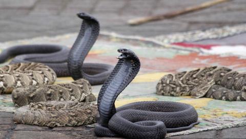 Создаётся противоядие на основе наночастиц против всех змеиных укусов разом