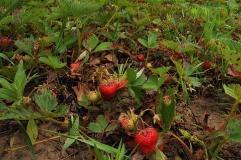 Япония предложила России вместе выращивать клубнику на Курилах