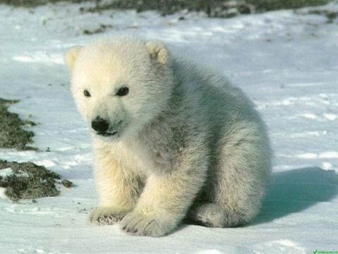 Спасение погибающего на Чукотке белого медвежонка