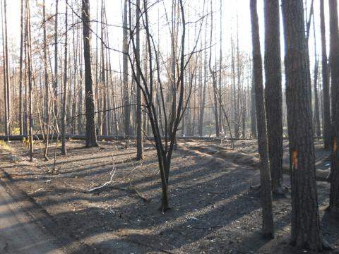 сгореший лес