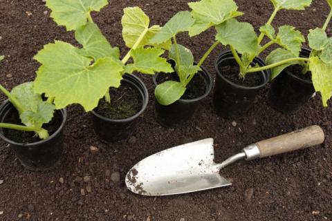 Высадка рассады овощных и декоративных культур – благоприятные дни в 2017 году