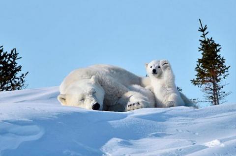 Приветствующий полярный медв…