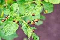 Как избавиться от колорадских жуков?