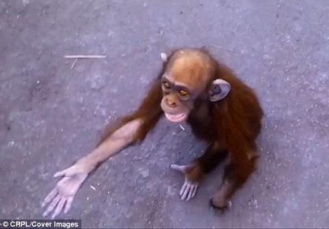 Как шимпанзе-сирота сумела попросить людей о помощи