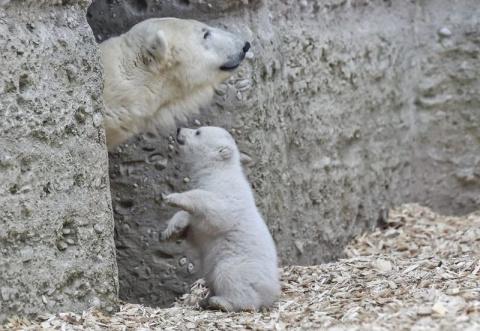Белый медвежонок сделал перв…