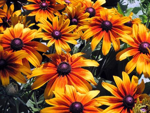 Рудбекия: долгое цветение, п…