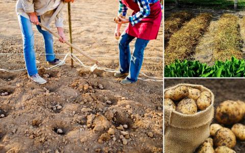 Посадка картофеля под зиму –…