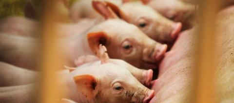 """Впервые в науке: Американские генетики вырастили свиней с """"очеловеченными"""" органами"""